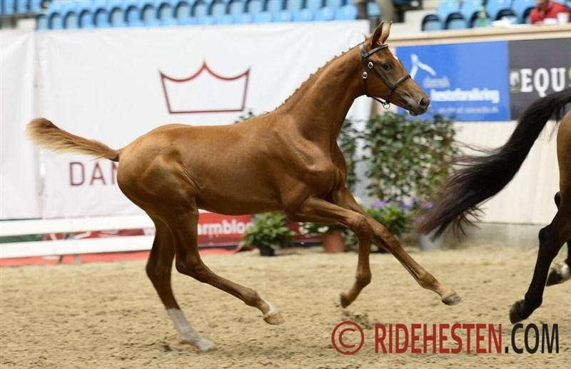 Sezuan foals internationally sought after - Ridehesten.com