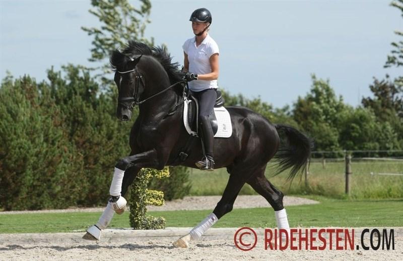 DWB-stallion Sezuan offspring popular