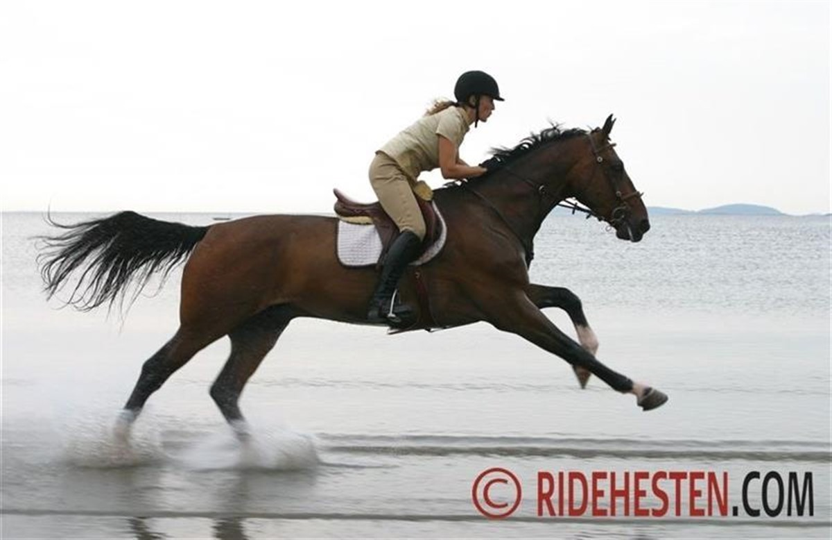ridning på islandsk hest