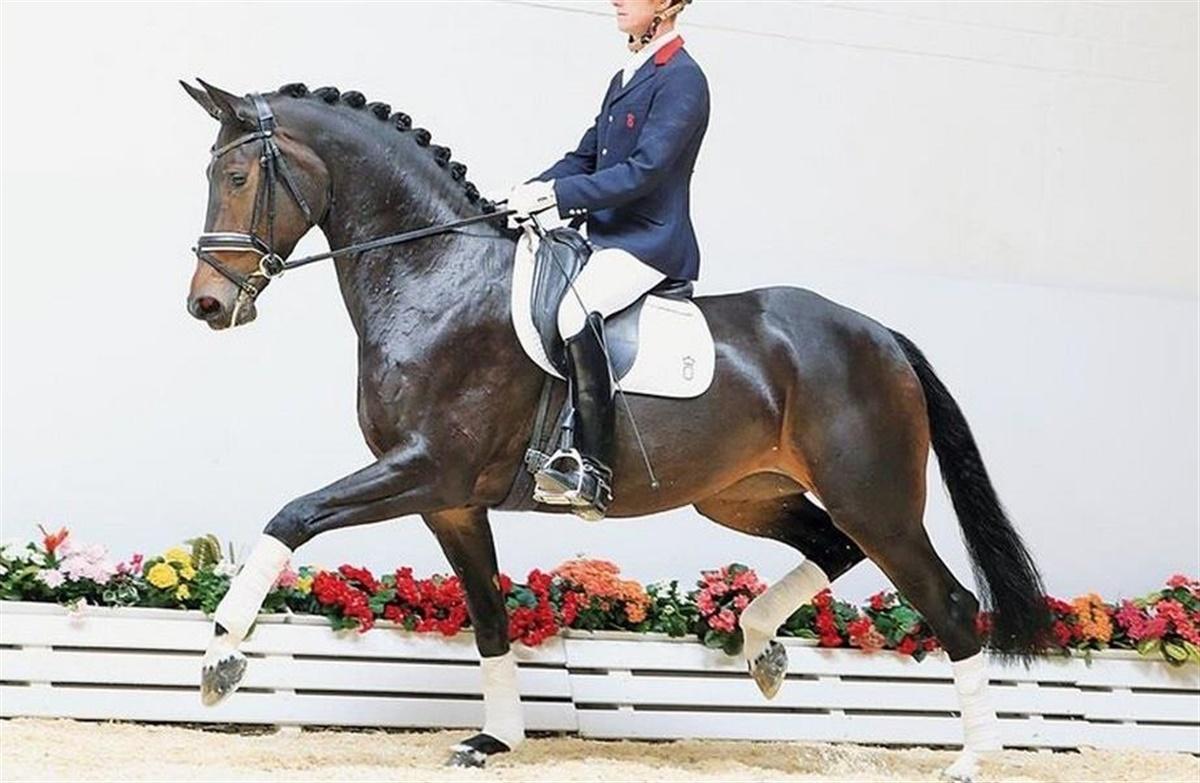 oldenborg hest til salg