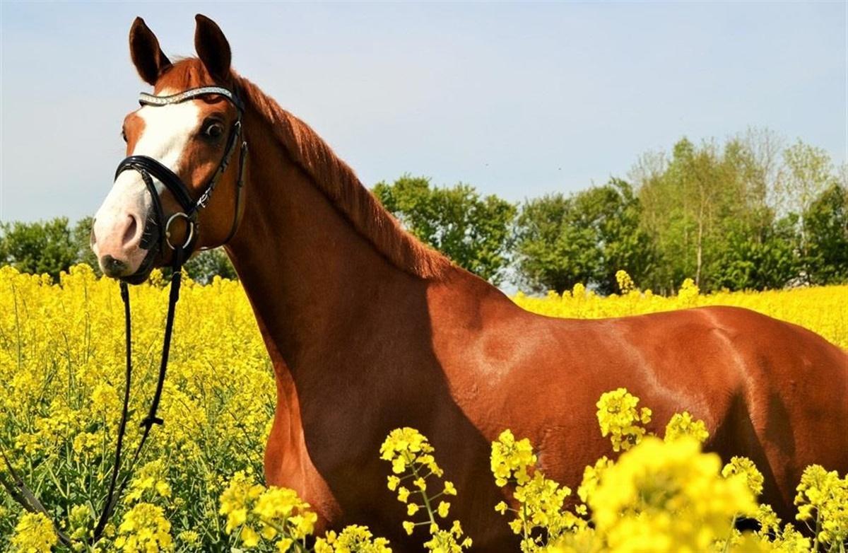 ridehesten heste til salg