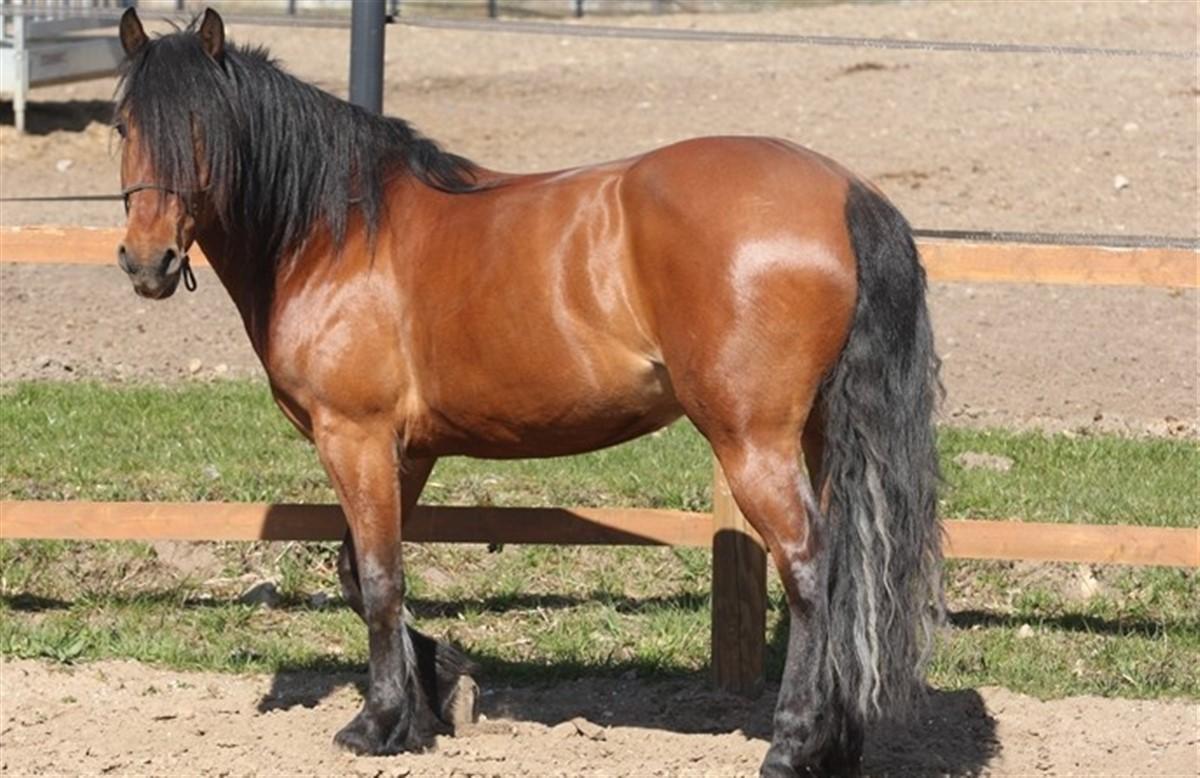 Hvor stor er en hestpenis