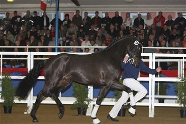 Danskejet hingst i top i Oldenburg