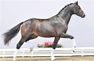 Over 2 millioner for dyreste hingst i Oldenburg