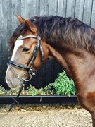 Hest til salg - FRONERTHIG VESUVIUS