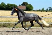 Hest til salg - Lorito VI