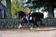 Hest til salg - Maggio