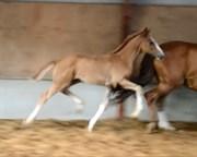 Hest til salg - SEMPIONE