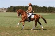 Hest til salg - CE ROBERTO