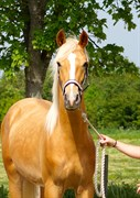 Hest til salg - HEDEGAARDS COLMAR BLUE