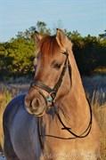 Hest til salg - Vestervang's Sir Patrick