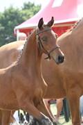 Hest til salg - FRED ASTAIRE HENA