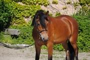 Hest til salg - MARGUERITE AF VEDDINGE