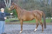 Hest til salg - VANILLA