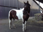 Hest til salg - BRANDSHOLM´S ODIN