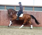 Hest til salg - Gørklintgårds Lesotho