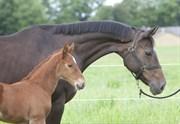 Hest til salg - CARA MIA