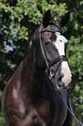 Hest til salg - KATRINELUNDS FLEUR DE LUX