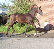 Hest til salg - ARAS ROYAL DE LUX