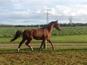 Hest til salg - LUCIANO