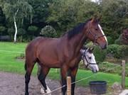 Hest til salg - AB'S CLASSIC FLAVOR