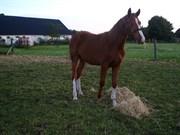 Hest til salg - BEPORSCHE