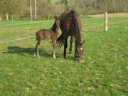 Hest til salg - HILL TOP AMARONE