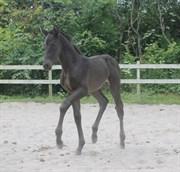 Hest til salg - HØJGAARDENS SCIROCCO