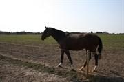 Hest til salg - BØGENSMINDES AMI