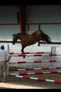 Hest til salg - QUISELLE V