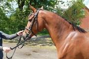 Hest til salg - ROCCO ROCKSTAR