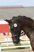 Hest til salg - KAMAR'S NIGT CRAWL