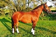 Hest til salg - BIRKELUND'S FLAMME