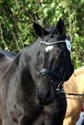 Hest til salg - Piroschka V