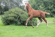Hest til salg - ABILDBAKS FLORENTINA