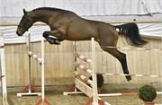 Hest til salg - 1 - CAJRO B