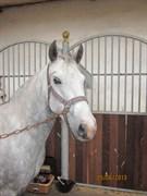 Hest til salg - MARKBOOKS CHICA