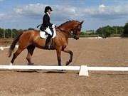 Hest til salg - GAMMELBYS COMANDER