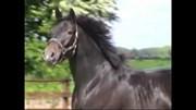 Hest til salg - Eskelunds Big Jack