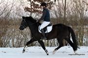 Hest til salg - BØGELYS BAROK