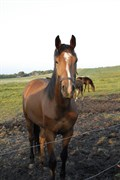 Hest til salg - LAMONT