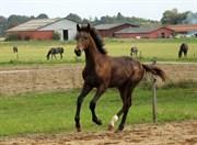 Hest til salg - ZENITH OVERSKOVLUND