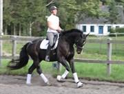 Hest til salg - La Cour's Explorer