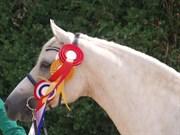 Hest til salg - EGEVANGENS GOLDEN KIMBERLY