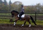 Hest til salg - De Kleine Nieuwe Brand's Corvette