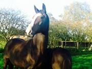 Hest til salg - TOUGAARD DIOR