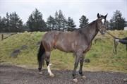 Hest til salg - FORUM'S SIR ROMAN
