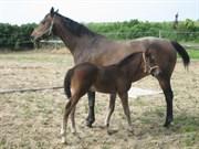 Hest til salg - CASHMIR AF MAALING