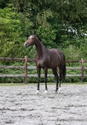 Hest til salg - GØRKLINTGÅRDS JAMAICA