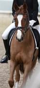 Hest til salg - Nørlunds Azeem